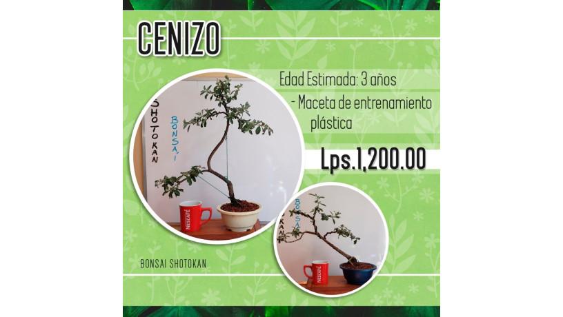 bonsai-shotokan-big-1