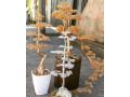 bonsai-small-0